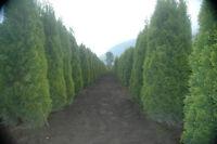 It's Cedar planting time!