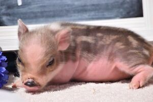 Mini Pet Pigs - Accepting Deposits for 2017 Litters St. John's Newfoundland image 2