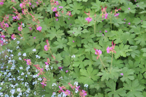 Perennial ground cover  native STOPS WEEDS!