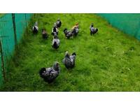 Various pure bred chickens for sale