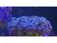 Zoas marine corals for sale different ones available please ask still for sale