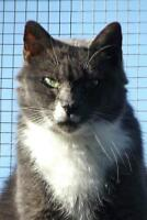 "Adult Male Cat - Domestic Short Hair: ""Mikey"""