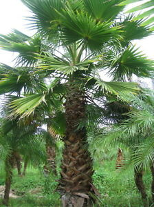 washingtonia robusta palma messicana di washington 10