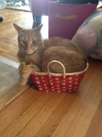 Lucky - Lost Cat - Male Orange Tabby