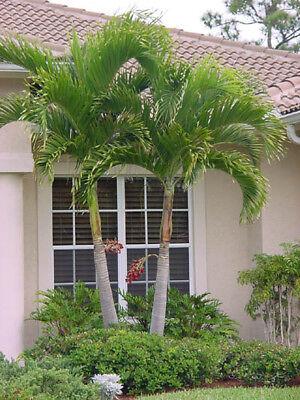 2019 Christmas Palm Tree Adonidia SEED TROPICAL Dwarf Royal Palm FRESH 10 15 50
