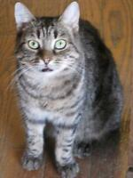 """Young Male Cat - Domestic Short Hair: """"Clive"""""""