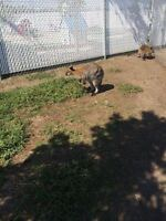 WALLABY & YAK'S FOR SALE!!