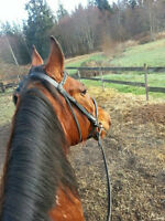 11 year old well-broke Standardbred mare