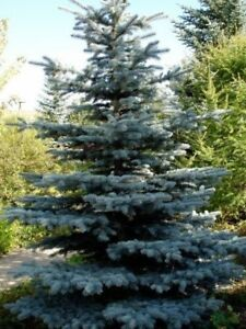 Blue spruce Christmas tree ~12' - cut your own $50.