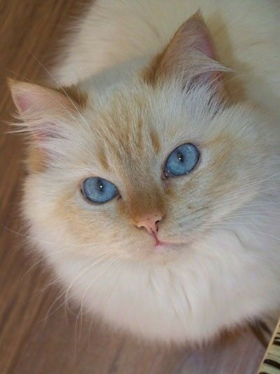 Ragdoll Red Flame Point In Leicester Leicestershire