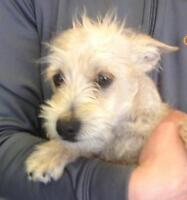 """Young Female Dog - Terrier: """"Heather"""""""