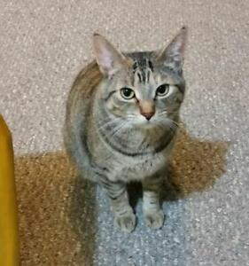 "Adult Female Cat - Tabby (Gray)-Torbie: ""Li'l Kim"""