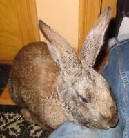 "Adult Male Rabbit - New Zealand-Flemish Giant: ""Roger"""