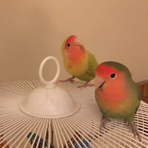 Two Lovebirds and Cage