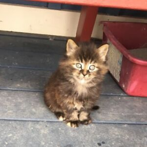 Cute Kittens For Sale In Ancaster Country!