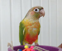Playful Pineapple Conures