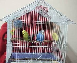 Beautiful & Healthy Young Budgies Looking For A New Home Lidcombe Auburn Area Preview