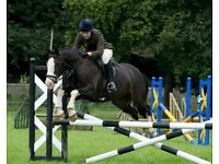15hh 11year old Black / Coloured Gelding for sale.