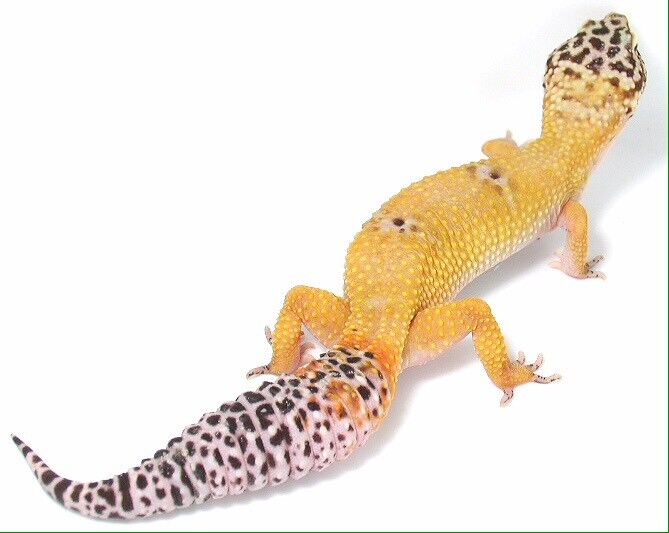 Leopard Gecko Morphs Eublepharis macularius A Leopard Gecko Morph is a difference in color size and or genetics Currently there are many Leopard Geckos
