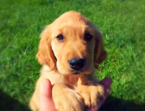 Golden Retriever Puppy! Farm & Family Raised ***only one left***