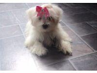 Maltese Puppy KC registered / £200 accessories
