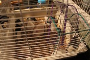 FREE pet rats, in need of good home.