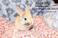 Tiny Dwarf Mix Baby Bunnies