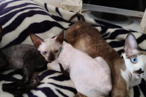 Devon Rex -(Boys-girls)-Ready to look for a new family.