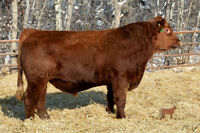 Two year old Red Angus bull for sale