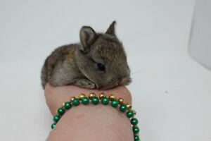 Bébés lapins Nains Néerlandais - Les Petits Lapins d'Amour