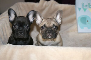 Perfect Black Brindll and sable french bulldogs for sale