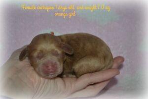 cockapoo puppies are now born !!!