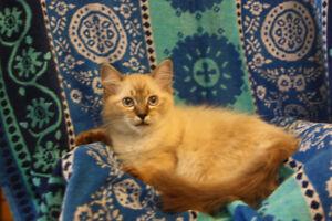 Female Ragdoll kitten,TICA registered.