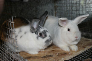 Rabbits for sale -Males