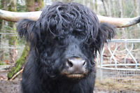HIGHLAND BULL for sale- proven and amazing!