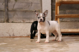 Last merle male French bulldog puppie