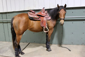 Canadian Bred Reining Prospect