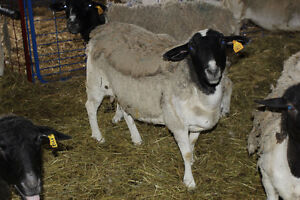 Registered Dorper Sheep for sale
