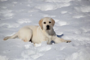 Lab Puppies Available from Starstruck Labradors!
