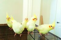 Super Tamed, Male, Handfed, Young Lutino Cockatiels Available
