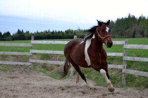 Paint horse à vendre