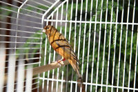 for sale: Mahogany singing canary with cage $70 +large cage $130