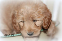 NEW Litter of adorable F1 Mini Labradoodle Puppies
