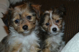 **PRECIOUS LITTLE HYBRID BABIES** Chinese Crested/Chihuahua