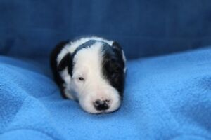 Registered Border Collie Puppies