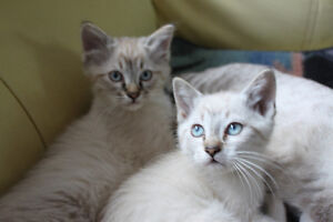 Exotic Snow Tigers - Lynx Point. Balinese, Snowshoe Siamese