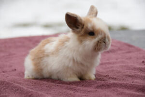 Adorable Purebred Holland Lop babies for sale