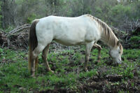 Amber Cream Tennessee Walking Horse mare