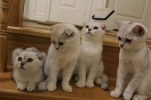SCOTTISH FOLD KITTENS SILVER CHINCHILLA GREEN EYES