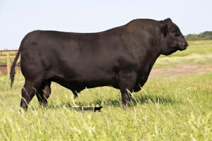 2 Year Old Purebred Black Angus Bulls For Sale